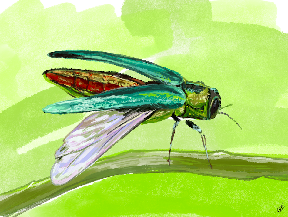 Emerald Ash Borer Is Here. What Can We Do?
